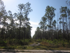 Pine Forest in Andros, Bahamas