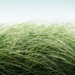 Other perennial grasses