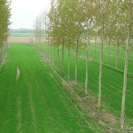 Agroforestry for biomass
