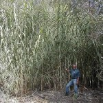 Giant reeds