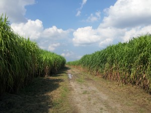 Bioenergy Crops handled thousands of hectares in tropical lands worldwide.