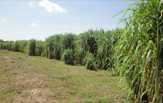 Tropical grasses like Napier grass would require large amounts of fertilizers since they have very high yields too.
