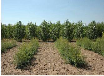 Siberian Elm in demonstration plots in Europe have been showing that enough biomass productivity under rain-fed conditions to be consider as feedstock in large scaled bioenergy projects.