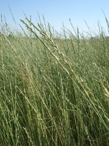 tall wheatgrass Hungary2