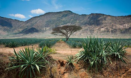 An agave sisalana plantation in the Pare Mountains, Tanzania, Africa. Some experts experts think abandoned agave plantations in Mexico and Africa could be reclaimed for biofuel. Photograph: MJ Photography/Alamy