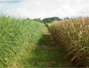 Perennials can provide straw in a much more sustainable way