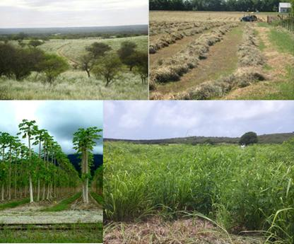 All over the world, marginal lands allow different approaches for sustainable feedstock production without disruption of food systems. Photo: Above margianl sides of productive fields in South America. Below:  tropical agriculture with papaya in agroforestry systems and Guinea grass in low productive areas of sugarcane