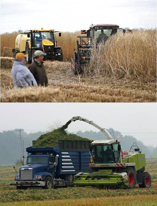 Similar crops do not allow drying in different climatic conditions. Above: Miscanthus harvest (note crop senescence) during winter time in UK. Below, grass cuttings and silage chopper in sorghums.