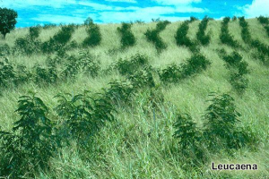 Agroforestry in tropical areas allow grazing and woody crops to avoid deforestation and produce energy and food from same lands. Photo: Leucaena trees and guinea grass in tropical lands. Photo: tropicalforages.info