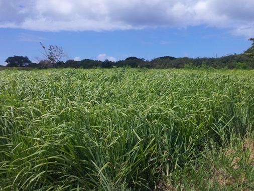 Existing tropical grasses in the Caribbean can be efficiently managed to produce highly digestible feedstock with extremely low inputs and several social and environmental benefits on soil, water, nutrients and carbon cycles. Photo: US Virgin Islands. Source: Bioenergy Crops Ltd (August 2013)