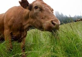 Grass fed meat is a growing market only limited by rich protein raw materials and management